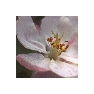 CRAB APPLE PHI 15ML