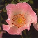 WILD ROSE PHI 15 ML