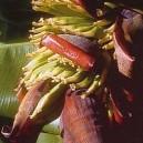 BANANE AFRIQUE PHI 15 ML