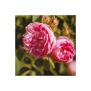 ROSE PROVENCE 15 ML PHI