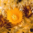 GOLDEN BARREL CACTUS 15 ML PHI