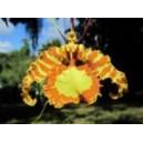 LADY BUTTERFLY (CUBA) 15 ML PHI