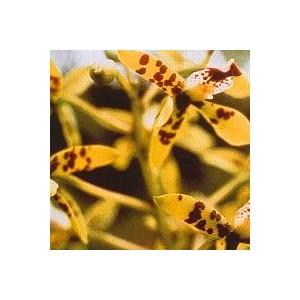 DEVA ORCHID PHI 15 ML