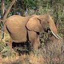 ELEPHANT 15 ML PHI
