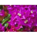 BOUGAINVILLEE SYLFOS 10 ML
