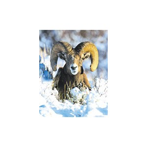 BIGHORN SHEEP/MOUFLON WEA 30 ML