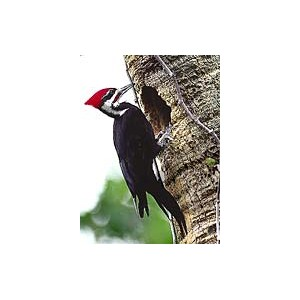 PILEATED WOODPECKER/GRAND PIC WEA E