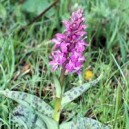 ORCHIS MALE 15 ML PHI
