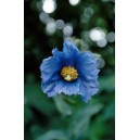 BLUE POPPY 7.5ML ALAS F SUP