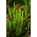 CLUB MOSS 7.5 ML ALASKA F SUP