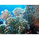 Corail de feu   (Millepora dichotoma) Feuerkoralle