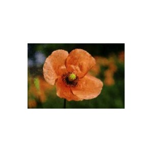 Coquelicot rouge - RED POPPY