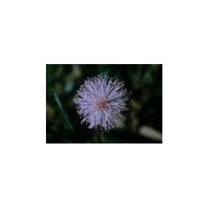 Sensitive - Mimosa pudica  10 ML BL