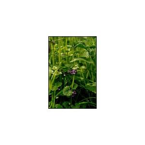 Lierre terrestre - Ground Ivy 10ML