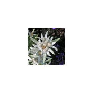 Edelweiss 10ml