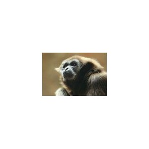 Gibbon - Gibbon (Hylobates pileatus 15 ml PHI