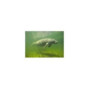Lamantin de l'Amazonie - Amazone Manati (Trichechus inunguis) 15ml PHI