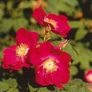 ROSE TIBETAINE 15 ML PHI