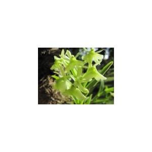 GREEN ORCHID  (CUBA) 15ML PHI