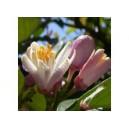Cerisier sauvage 10 ml DEVA