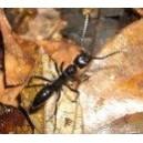 Fourmi (Ant) (Formicidae)