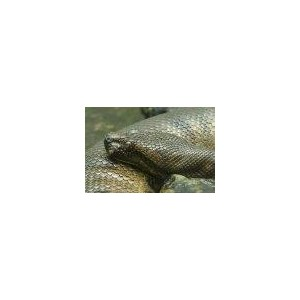 Anaconda (Eunectes murinus) 15ml PHI