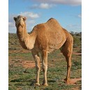 Chameau - Camel (Camelus bacterianus)