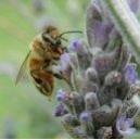 Abeille - Bee (Apis mellifera) 15 ml PHI