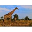 Giraffe (Giraffa camelopardalis) 15ml PHI