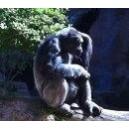 Gorille - Gorilla (Gorilla gorilla) 15ml PHI