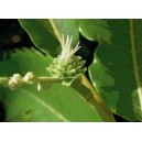 chataignier sweet chestnut